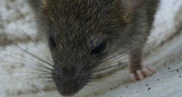 ネズミ拷問