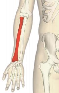 blog-radial-bone